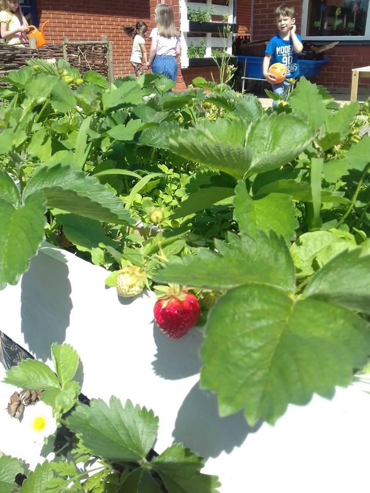 """Prve ovogodišnje jagode u vrtu """"Zvončića"""""""